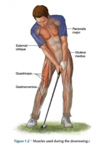 Muscles used to optimize the golf downswing